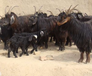 Afghan Cashmere goats